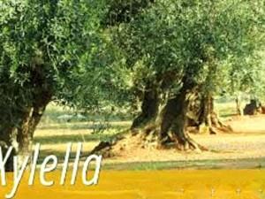 imagexylella4